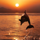 Beautiful sunset and dolphin leaping out of sea surface — Stock Photo