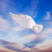 White dove in the sky — Stock Photo