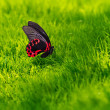 Big tropical butterfly on grass texture — Stock Photo