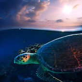 Sea turtle swimming over beautiful coral reef — Stock Photo