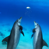 Beautiful dolphins playing — Stock Photo