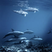 Family of red-sea bottlenose dolphins — Stock Photo