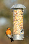 Robin on a bird feeder — Stock Photo