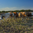 Cows in a farm on a frash air — ストック写真