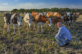 Farmer on a field sitting near his cows — Stockfoto