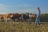 Agricoltore guardando la telecamera e in piedi vicino le vacche — Foto Stock