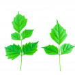 Green leaf isolated on white background — Stock Photo