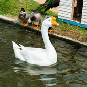 Swan floats on the water surface. — Stock Photo