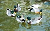 Group of wild mallard ducks swim in the pool — Stock Photo
