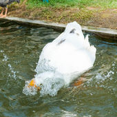 Swan playing in the pool — ストック写真