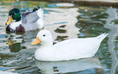 White little duck floats on the water surface — Photo