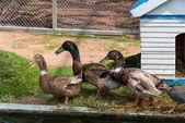 Group of wild mallard ducks — Stock Photo