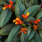 Floral with big green leaves - Bunch of orange flowers — Stock Photo