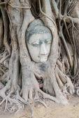 Tête de bouddha en arbre à wild ayutthaya, thaïlande — Photo