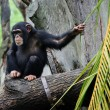 Chimpanzee — Stock Photo #19605169