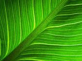 Big green leaf macro — Stock Photo