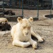Beautiful white lioness — 图库照片 #22378915