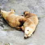 Closed two polar bear in zoo — Stock Photo