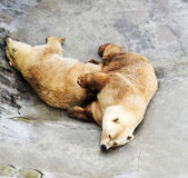 Closed two polar bear in zoo — Stock Photo