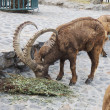 Siberian Ibex in zoo - Stock Photo