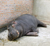 Hippo in zoo — Stock Photo