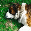 Stock Photo: Beautiful Saint Bernard dog