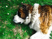 Beautiful Saint Bernard dog — Stock Photo