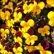 Colorful viola flowers in garden — Stock Photo