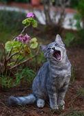 Beautiful cat yawning — Stock Photo
