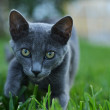 Careful gray cat — Stock Photo #30715641