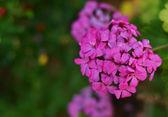 Schöne violett flower ina garten — Stockfoto