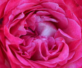 Pink rose macro texture — Stock Photo