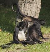 家庭的猴子 — 图库照片