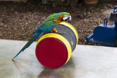 Parrot on a barrel — Stock Photo