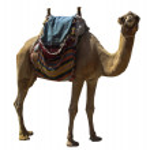 ������, ������: Camel on white
