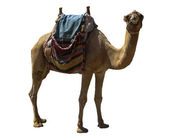 Camel on white — Stock Photo