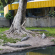 Stock Photo: Crocodiles under tree
