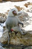 Baboon sitting — Stock Photo