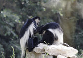 Colobus monkeys — Stock Photo