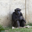 Stock Photo: Chimpanzees