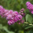 Stock Photo: Flowering shrub