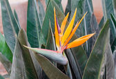 Strelitzia — Photo