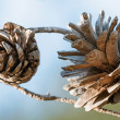 Pine cones — Stock Photo #38194297