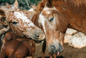 Love two horses — Stock Photo