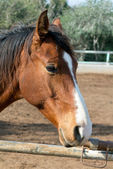 Retrato de cavalo — Foto Stock