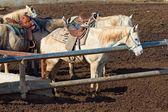 Lindo cavalo com uma sela — Foto Stock