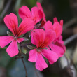 Stock Photo: Geranium