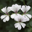 Geranium — Stock Photo #40339331