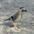 Jay with black beak — Stock Photo #41740317