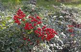 Krzew o czerwone jagody — Zdjęcie stockowe